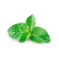 La menthe poivrée, ingrédient et composition Argel7®